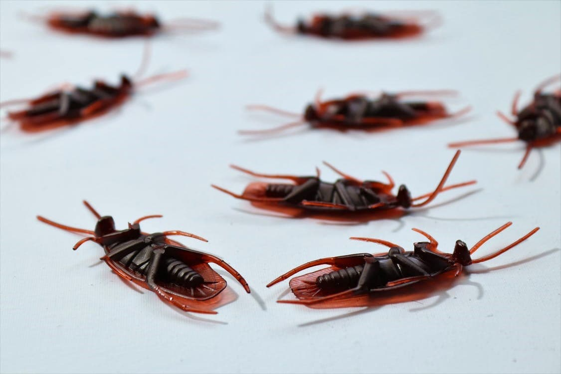 Why Cockroach Prevention is Necessary?