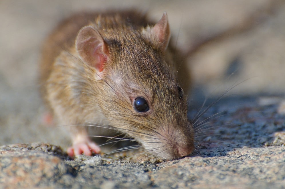 Type of Disease Rodents Can Carry